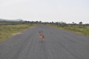 A gazelle crosses the Lambwe Airstrip at Ruma National Park in Homa Bay County. #TembeaKenya.