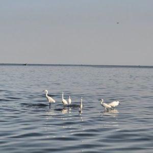 Birds probably in search of fish in Lake Victoria. #TembeaKenya.