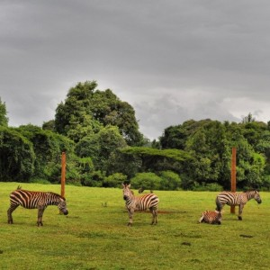 Lovely Zebras at Mt Elgon National Park. #TembeaKenya.